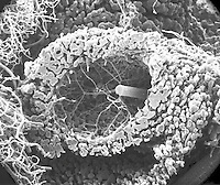 "A cast of a portion of the mammal (rat) spleen circulatory system showing the central artery branching into a number of slender follicular arterioles that transverse the white pulp and terminate in perinodular or marginal sinuses of the red pulp. SEM X105  3.5"" X 4.5""  **On Page Credit Required**"