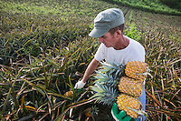 France, &icirc;le de la R&eacute;union, Le Tampon, Le Grand Tampon, Bertrand Begue du GAEC Calist&eacute;mon: la Maison de l'Ananas, r&eacute;colte ses ananas  Victoria, sa production en agriculture raisonn&eacute;e  est labellis&eacute;e: Label Rouge // France, Reunion island (French overseas department), Le Tampon,  Le Grand Tampon,<br /> <br /> Auto N&deg;: 2014-111