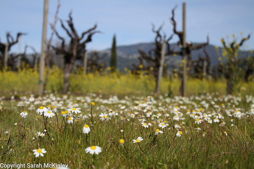 Tiny daisies growing near an old vineyard between Geyserville and Calistoga in Napa County in Northern California.