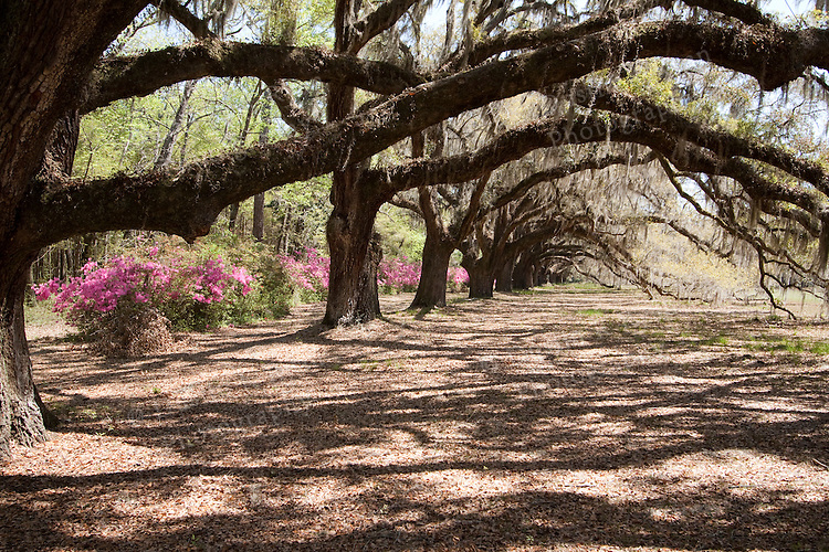 Live Oak Trees and Spanish Moss hanging from the branches found in South Carolina