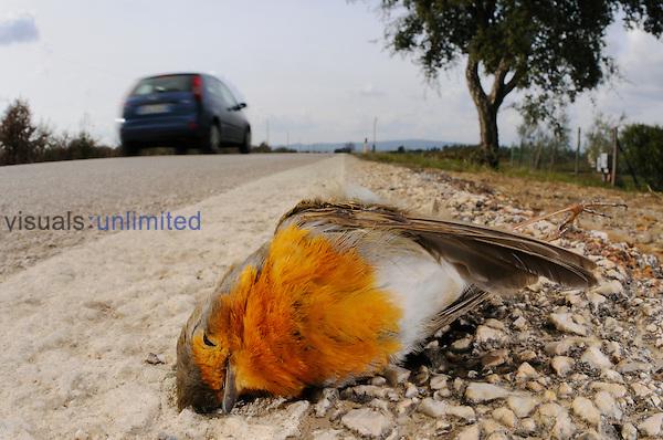A European Robin killed on a road (Erithacus rubecula), Europe.