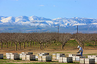 Three trucks arrived during the night. More than 1200 hives to unload and inspect before taking them to the orchards. <br /> In the distance, the almond trees in the orchards are bare. It is a desert as concerns flowers and the bees have to live another three weeks on their reserves.