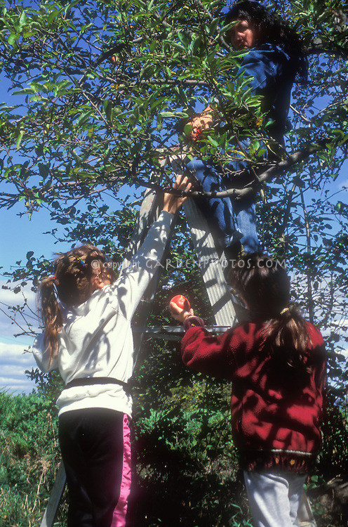 Picking apples from tree at harvest time by young and old, stepladder reaching for fruits, adults and children interacting, intergenerational learning about gardening and nature