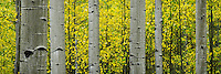 Panoramic view of aspen tree trunks against bright yellow Fall leaves in Utah.