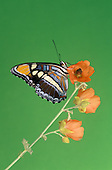 Sister Butterfly (Adelpha bredowii), Nymphalidae, Huachuca Mountains, Arizona, USA.