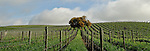 Acacia vineyards, Carneros, Napa County, California