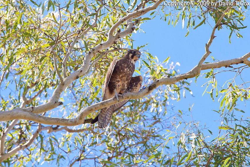 Brown Falcon, near Eungella NP, Queensland, Australia