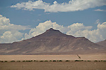 Africa, Namibia - Desert dwelling Giraffe walks in remote northwest  near skeleton coast.