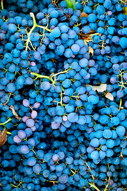 Harvested grapes in the wine producing region of Ica, Peru.