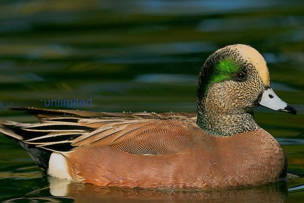 American Wigeon (Anas americana)......Male