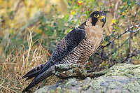 527950022 a captive peregrine falcon falco peregrinus a falconers bird the species is federally endangered perches on a lichen covered rock in central colorado