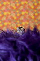 Leopard Gecko in studio purple fuzzy carpet and orange background
