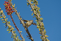 590460004 a wild bell's vireo vireo belli arizonae flies from an ocotillo plant in the madera canyon grasslands area east of green valley arizona