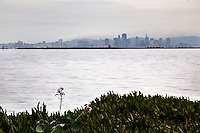 A wild radish flower stands over ice plant along the eastern shore San Francisco Bay with the city's skyline in the background.