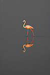 Greater Flamingo, Phoenicopterus ruber, Camargue, Southern France, reflection, wetland bird, feeding, lagoon filter feeder, Arles, Marseille Provence, Ornithology, conservation, tourist attraction.France....
