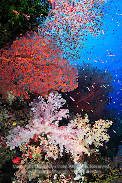 qe0666-D. gorgonian sea fans (Melithaea sp.), soft corals (Dendronephthya sp.) and branching cup corals (Tubastraea micrantha). Fiji, tropical Pacific Ocean. Copyright © Brandon Cole. All rights reserved worldwide.  www.brandoncole.com..This photo is NOT free. It is NOT in the public domain. This photo is a Copyrighted Work, registered with the US Copyright Office. .Rights to reproduction of photograph granted only upon payment in full of agreed upon licensing fee. Any use of this photo prior to such payment is an infringement of copyright and punishable by fines up to  $150,000 USD...Brandon Cole.MARINE PHOTOGRAPHY.http://www.brandoncole.com.email: brandoncole@msn.com.4917 N. Boeing Rd..Spokane Valley, WA  99206  USA.tel: 509-535-3489