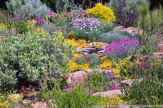 Charles Mann made a small but  colorful rock garden in Santa Fe, New Mexico, which blooms in late May with  dianthus, sedums, cacti, sunrose, and a number of other native and  non-native shrubs and plants including Caryopteris, Salvia and Ephedra.