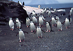 chinstrap penguins walking