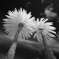 Two towering infrared palm trees in Kapi'olani park.