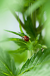 A lady bug climbs on the leaf of a cannabis plant. This plant is being grown for medicinal use in a legal grow in Vermont.