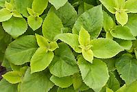 (Solenostemon) Coleus 'Versa Lime', solid green annual foliage plant ornamental leaves