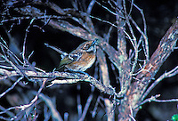The native forest bird elepaio, (chasiempis sandwichensis). This subspecies is found only on the Big Island of Hawaii.