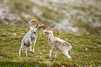 DIGITALLY MODIFED: Background has been blurred. Two Dall sheep rams crash horns as part of a dominance display on a mountain ridge in Denali National Park, interior, Alaska