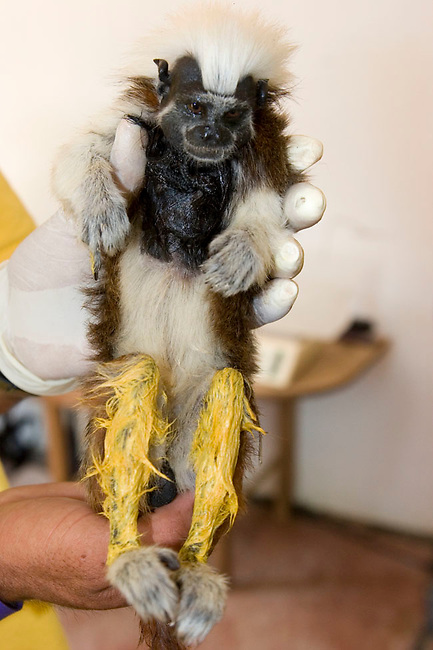 Anesthetized wild Cotton-top tamarin  (Saguinus Oedipus) newly painted by the research team. A system used to track different tamarin study groups.<br /> <br /> IUCN List: Critically Endangered<br /> <br /> Digital Capture