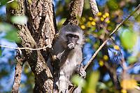 Vervet Monkey, Mlilwani, Swaziland