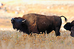 Bison Bellowing, Lamar Valley, Yellowstone National Park, Wyoming