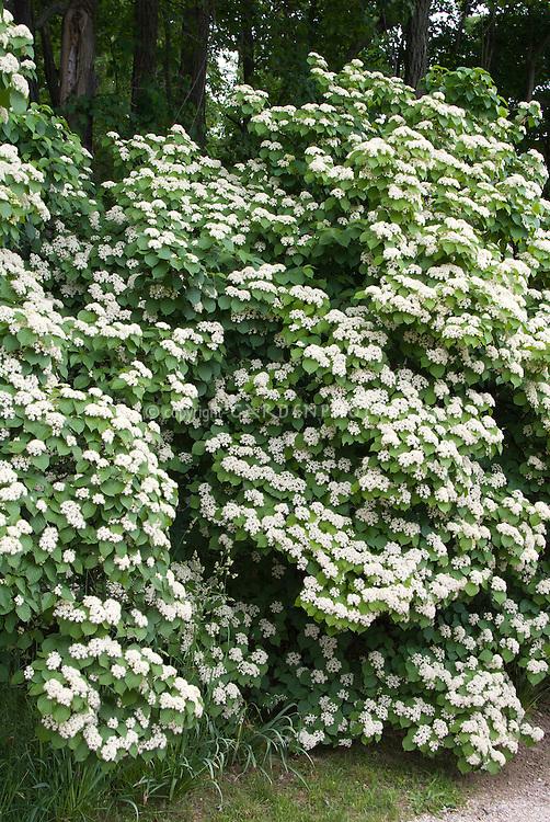 Viburnum hedge in flower