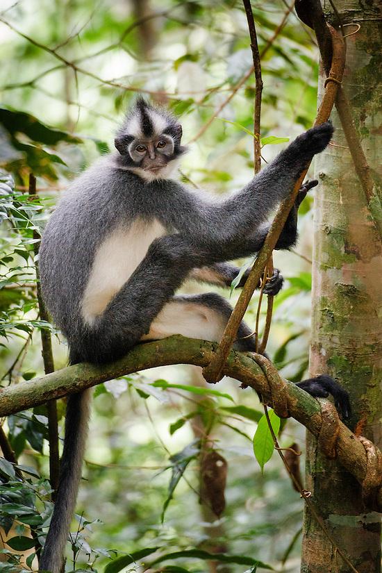 A Thomas Leaf Monkey (Presbytis thomasi) sits on a branch in Gunung Leuser National Park