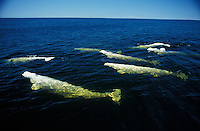 mr66. Beluga Whales (Delphinapterus leucas), Hudson Bay, Canada, Arctic Ocean. .Photo Copyright © Brandon Cole. All rights reserved worldwide.  www.brandoncole.com