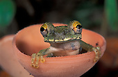 Treefrog (Osteocephalus buckleyi) perched sitting in a cup mushroom, Tambopata Candamo Reserve, Peru.