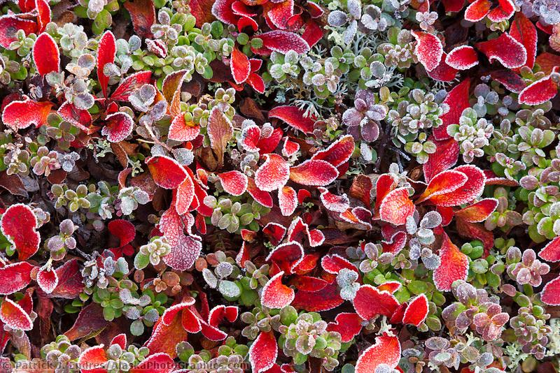 Frost on alpine bearberry, willow, and tundra vegetation, Denali National Park, interior, Alaska.