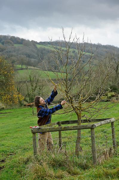 Pruning Morus nigra (Black Mulberry)