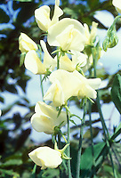 Lathyrus odoratus Mrs Collier sweetpeas in yellow cream fragrant bloom