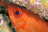 bigeye, Priacanthus arenatus, City of Washington wreck, Key Largo, Florida Keys National Marine Sanctuary, Atlantic Ocean