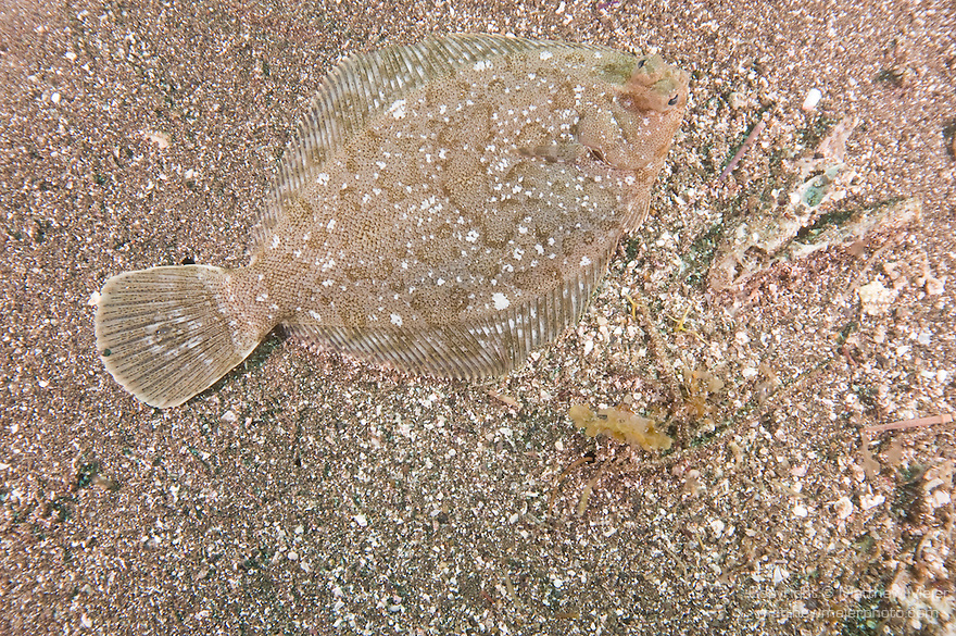 San Clemente Island, Channel Islands, California; a C-O Sole (Pleuronichthys coenosus) or righteye flounder fish, sits camouflaged flat against the sandy bottom