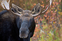 Fall colors and a Bull Moose portrait in Wison Wyoming