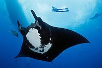 manta ray photos