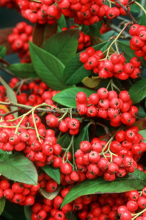 Cotoneaster x waterii in winter berry