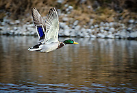 Beautiful action photograph of a Mallard duck in flight.