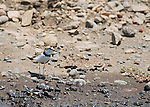Collared plover, Charadrius collaris, on the shore of the Tarcoles River, Costa Rica