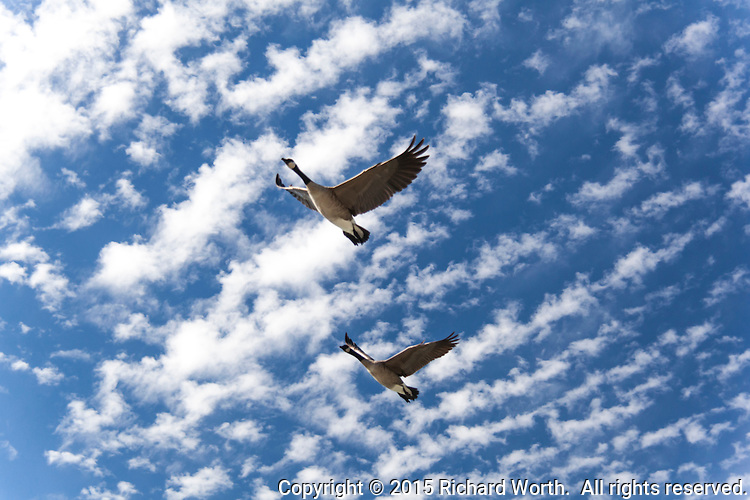 A pair of Canada geese fly with a background of blue sky dappled with clouds.
