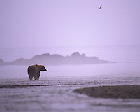 A lone Alaskan brown bear standing in the early morning fog, Alaska