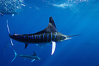 qf1165-D. Striped Marlin (Tetrapturus audax), feeding on Pacific Sardines (Sardinops sagax). Baja, Mexico, Pacific Ocean..Photo Copyright © Brandon Cole. All rights reserved worldwide.  www.brandoncole.com..This photo is NOT free. It is NOT in the public domain. This photo is a Copyrighted Work, registered with the US Copyright Office. .Rights to reproduction of photograph granted only upon payment in full of agreed upon licensing fee. Any use of this photo prior to such payment is an infringement of copyright and punishable by fines up to  $150,000 USD...Brandon Cole.MARINE PHOTOGRAPHY.http://www.brandoncole.com.email: brandoncole@msn.com.4917 N. Boeing Rd..Spokane Valley, WA  99206  USA.tel: 509-535-3489