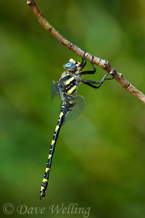 389970015 a wild male pacific spiketail cordulegaster dorsalis great basin subspecies perches on a plant stem near mcgee creek along tungsten hill west of bishop in inyo county california