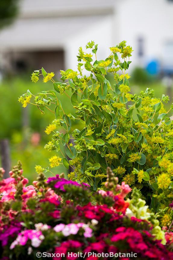 Cool season annual  Bluplerum harvested at flower farmer Lisa Ziegler Gardeners Workshop