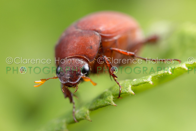 A frontal view of an Asiatic Garden Beetle (Maladera castanea)